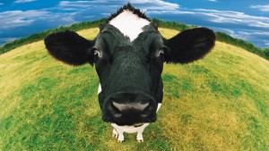 G'head. Have a cow. And milk.